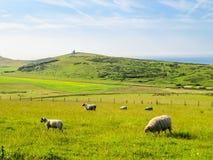 Gregge delle pecore su un pascolo Immagini Stock