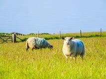 Gregge delle pecore su un pascolo fotografia stock
