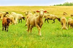 Gregge delle pecore su un prato fotografie stock