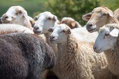 Gregge delle pecore su una pianura erbosa Fotografie Stock Libere da Diritti