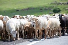 Gregge delle pecore su una pianura erbosa Immagini Stock