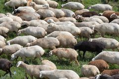 Gregge delle pecore su una pianura erbosa Immagine Stock Libera da Diritti
