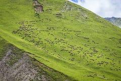 Gregge delle pecore sul fianco di una montagna Fotografia Stock