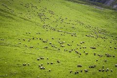 Gregge delle pecore sul fianco di una montagna Immagine Stock Libera da Diritti