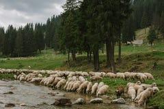 Gregge delle pecore sul fiume Immagini Stock Libere da Diritti