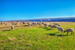 Gregge delle pecore sul pascolo Immagini Stock Libere da Diritti