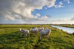 Gregge delle pecore sul pascolo dal fiume Immagine Stock Libera da Diritti