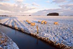 Gregge delle pecore sul pascolo di inverno Fotografia Stock Libera da Diritti