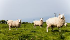 Gregge delle pecore sul pascolo verde nella campagna Campi verdi nelle montagne con il pascolo le pecore e del cielo blu Coltiva  Fotografia Stock Libera da Diritti