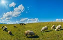 Gregge delle pecore sul plateau Fotografie Stock