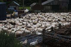 Gregge delle pecore sull'azienda agricola Immagine Stock