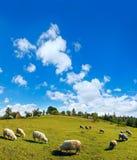 Gregge delle pecore sulla cima della collina della montagna di estate Immagini Stock Libere da Diritti