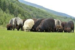 Gregge delle pecore sveglie sul prato nelle montagne Fotografie Stock Libere da Diritti
