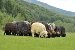 Gregge delle pecore sveglie sul prato nelle montagne Immagini Stock Libere da Diritti