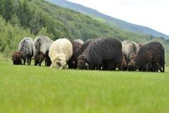 Gregge delle pecore sveglie sul prato nelle montagne Fotografia Stock Libera da Diritti