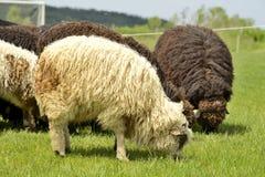 Gregge delle pecore sveglie sul prato nelle montagne Fotografie Stock