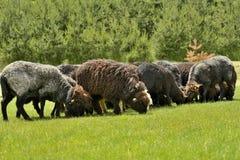 Gregge delle pecore sveglie sul prato nelle montagne Immagini Stock