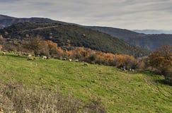 Gregge delle pecore in un prato della montagna Fotografia Stock