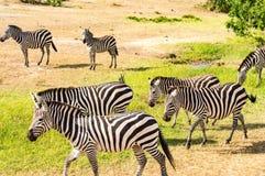 Gregge delle zebre che pascono nella savana di Maasai Mara Park nel KE fotografie stock