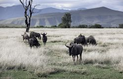Gregge dello gnu blu che pasce savana africana immagine stock libera da diritti
