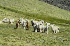 Gregge di Aalpacas sulla collina verde Fotografia Stock Libera da Diritti