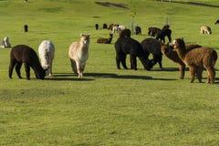 Gregge di alpaga su un ranch Fotografia Stock