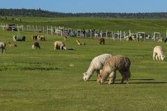 Gregge di alpaga su un ranch Immagini Stock