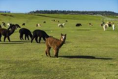 Gregge di alpaga su un ranch Fotografie Stock
