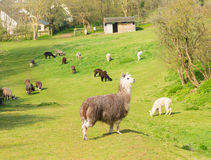 Gregge di alpaga in un campo verde in primavera Immagini Stock