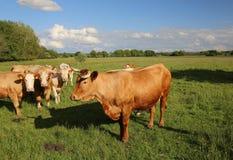Gregge di bestiame Immagine Stock