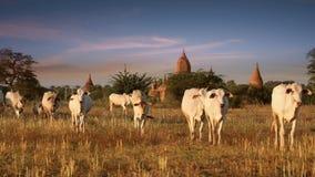 Gregge di bestiame che passa attraverso il paesaggio di stupore di tramonto Bagan Myanmar (Birmania) stock footage