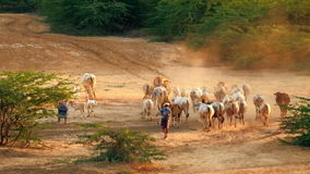 Gregge di bestiame che passa attraverso il paesaggio di stupore di tramonto Bagan Myanmar (Birmania) archivi video