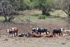 Gregge di bestiame su un'azienda agricola vicino a Rustenburg, Sudafrica immagini stock