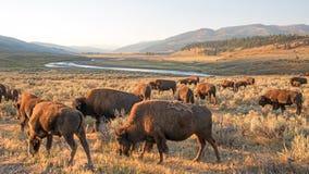 Gregge di Bison Buffalo alla luce di primo mattino in Lamar Valley del parco nazionale di Yellowstone in Wyoiming Immagini Stock Libere da Diritti