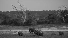 Gregge di camminata bagnata dell'elefante africano Immagini Stock