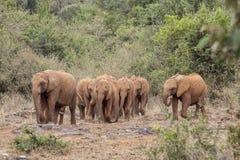 Gregge di camminata selvaggia degli elefanti Fotografia Stock