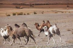 Gregge di correre dei cammelli battriani Immagine Stock Libera da Diritti