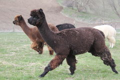 Gregge di correre dell'alpaca Fotografia Stock Libera da Diritti