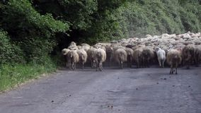 Gregge di Dogs Following Sheep del pastore video d archivio