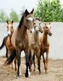 Gregge di fretta del cavallo Fotografia Stock Libera da Diritti