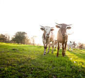 Gregge di giovani mucche curiose Fotografia Stock Libera da Diritti