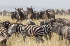 Gregge di migrazione dello gnu e della zebra nel Serengeti, Tanzania Fotografia Stock