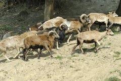 Gregge di mouflon Immagine Stock Libera da Diritti