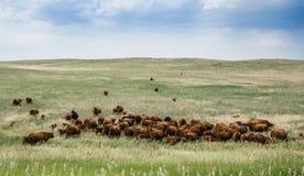 Gregge di pascolo delle mucche su un vasto campo in Colorado Paesaggio rurale in U.S.A. Fotografia Stock Libera da Diritti