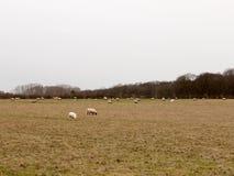 gregge di pascolo delle pecore nell'inverno bianco di autunno del cielo del pascolo del campo Immagine Stock Libera da Diritti