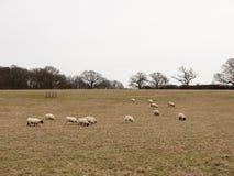 gregge di pascolo delle pecore nell'inverno bianco di autunno del cielo del pascolo del campo Fotografia Stock