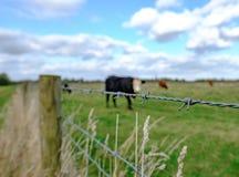 Gregge di pascolo visto mucche sul pascolo di estate ad un'azienda lattiera Fotografie Stock Libere da Diritti