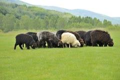 Gregge di piccole pecore sveglie che pascono sul prato Fotografie Stock Libere da Diritti