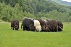 Gregge di piccole pecore sveglie sul prato nelle montagne Fotografia Stock Libera da Diritti