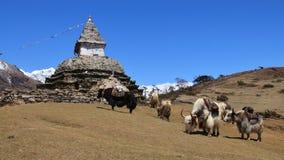 Gregge e stupa dei yak Immagine Stock